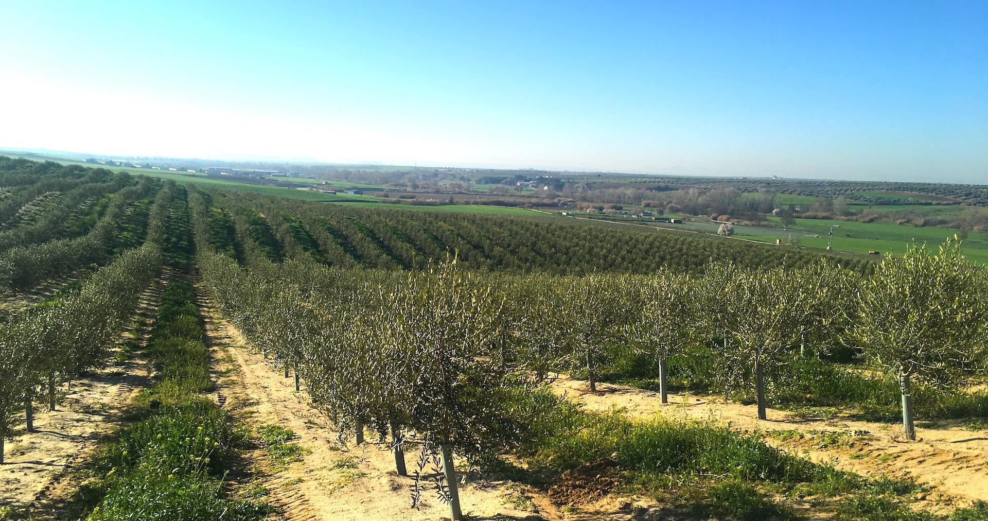 olivar de miel Recas